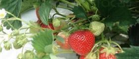 Продажба на разсад ягоди в Тутракан