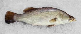 Продажба на замразена и охладена риба в София - Жива риба София