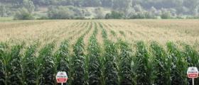 Продажба царевични семена
