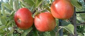 Производство и търговия ябълки в Бургас