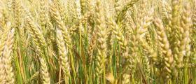 Производство и търговия с пшеница в Обнова-Левски