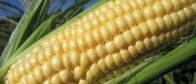 Производство и търговия с царевица в Обнова-Левски