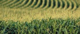 Производство и търговия с царевица в община Балчик