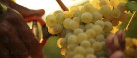 Производство на грозде в София и Хисар