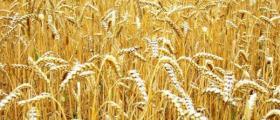 Производство на пшеница и слънчоглед в Нови пазар