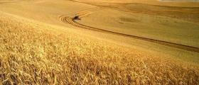 Производство на пшеница в Баня-Карлово