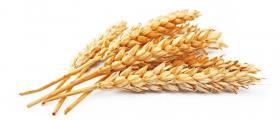 Производство на пшеница в Дянково-Разград