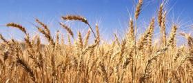 Производство на пшеница в Долно Церовене-Якимово