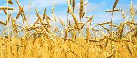 Производство на пшеница в Хърлец-Козлодуй