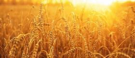 Производство на пшеница в Игнатиево