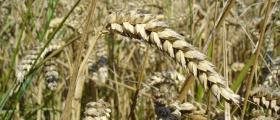 Производство на пшеница в Кошарево-Брезник - ЗКПУ УСПЕХ