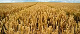 Производство на пшеница в Криводол