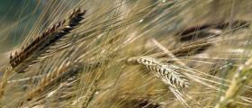 Производство на пшеница в Левски - Плевен