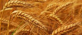 Производство на пшеница в област Разград