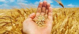 Производство на пшеница в община Свищов