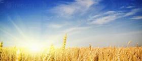Производство на пшеница в Община Тервел