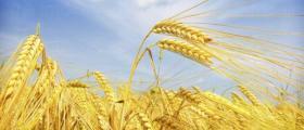 Производство на пшеница в община Тунджа