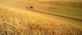 Производство на пшеница в Стражица
