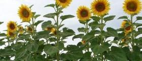 Производство на слънчоглед и пшеница в Средище-Силистра