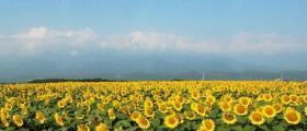 Производство на слънчоглед в Дянково-Разград