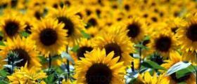 Производство на слънчоглед в Гъмзово-Брегово