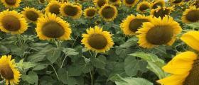 Производство на слънчоглед в област Бургас