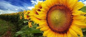Производство на слънчоглед в Община Тервел