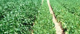 Производство на соя в село Малина-Генерал Тошево