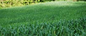 Производство на царевица и ечемик в Нови пазар