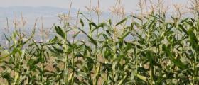 Производство на царевица в Хърлец-Козлодуй