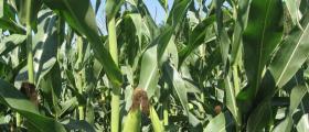 Производство на царевица в област Бургас