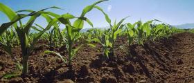 Производство на царевица в област Разград