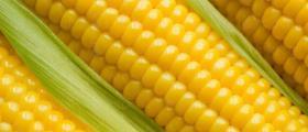 Производство на царевица в община Димитровград