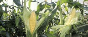 Производство на царевица в Орловец-Полски Тръмбеш