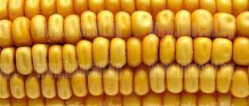 Производство на царевица в Зафирово, Силистра