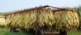 Производство на тютюн село Попица Бяла Слатина