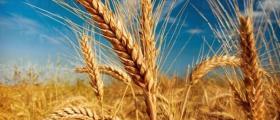 Производство на зърнени култури в Червен бряг