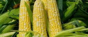 Производство на зърнени култури в Кнежа, Плевен, Червен бряг