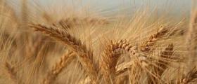 Производство на зърнени култури в област Пазарджик
