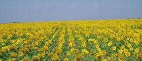 Производство слънчоглед в Нова Върбовка-Стражица