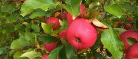Производство, търговия и отглеждане на ябълки в Страцин-Поморие