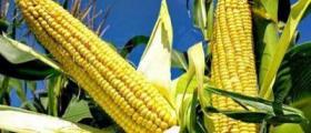 Производство зърнени култури в Болярово