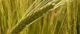 Производство зърнени култури в Свобода - Чирпан