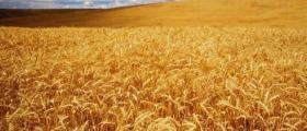 Производство зърнени култури в Търговище