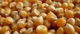 Производство зърнени култури в Трявна
