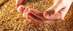Производство зърно и зърнени култури в Светлен-Попово