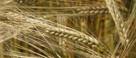 Производство зърно село Попица Бяла Слатина