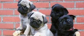 Развъждане на чистопородни кученца Мопс в Ездимирци-Перник