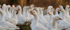 Развъждане на патици в област Пловдив