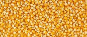 Съхранение и сушене на царевица в Добрич